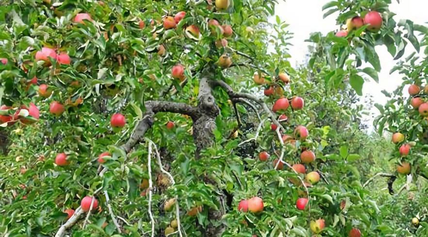 ご家庭用米崎りんご品種おまかせ3kg箱 寄附金額5000円 (岩手県陸前高田市)