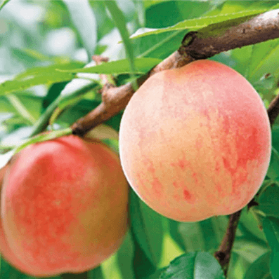 【さぬき市産】さぬきの桃 約4kg