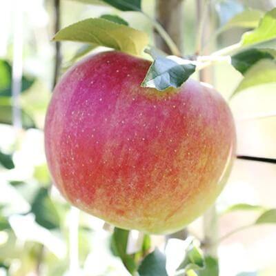 ♪フルーツ王国山形♪サンふじりんご 10kg