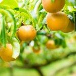 【幸水や豊水など】ふるさと納税 梨のおすすめ返礼品まとめ