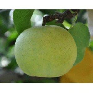 鳥取県産「なつひめ梨」5㎏