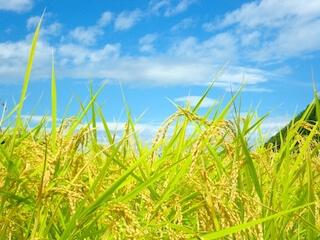 無洗米北海道赤平産ゆめぴりか特別栽培米5kg×2袋 寄附金額30,000円(北海道赤平市) イメージ