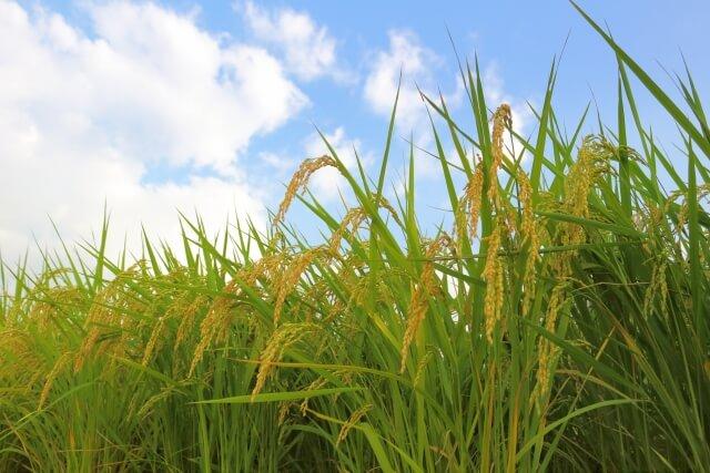 《H29年収穫米》有機肥料を使って栽培した『特選さがびより』玄米10kg(5kg×2) (みやき町産) 寄附金額10,000円(佐賀県みやき町) イメージ