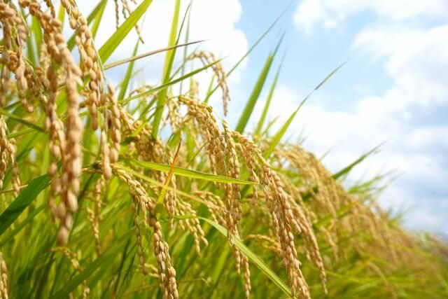 特A評価!特別栽培米さがびより 27kg(白米)寄附金額30,000円(佐賀県小城市) イメージ