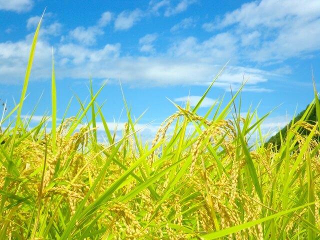 特別栽培米 かぐや姫10kg (無洗米)