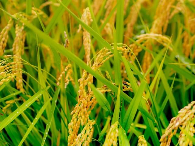 特別栽培米 かぐや姫10kg (無洗米) イメージ