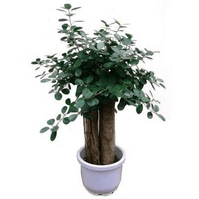 パンダガジュマル10号サイズ リン鉢80~120cm