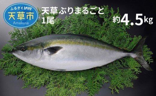 天草 ぶりまるごと 一尾 4.5kg前後×1尾