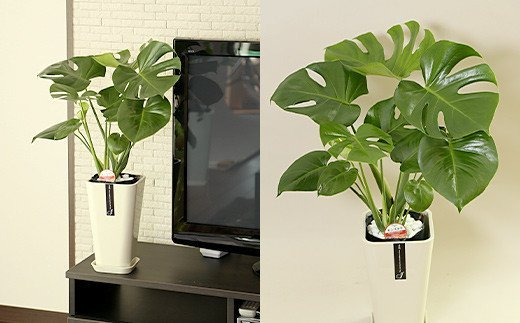 【コロナ支援】観葉植物 モンステラ 6号 カラーポット 白 約60~70cm